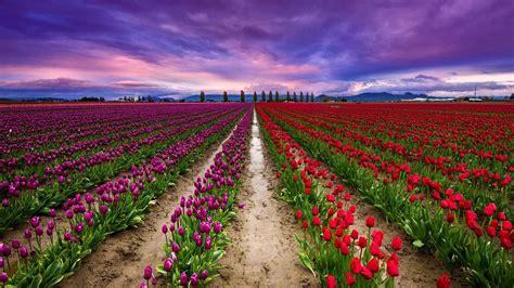 tulips bed farm hd keukenhof tulip farm wallpaper wallpaper studio 10 tens of thousands hd and ultrahd