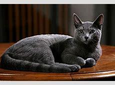 Mittelgroße Katzenrassen Die goldene Mitte