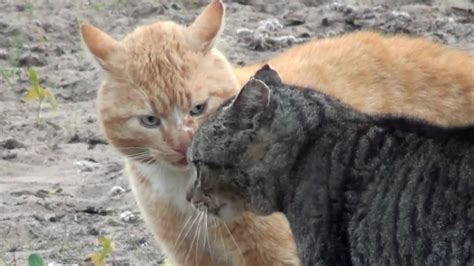 Kaķi dala teritoriju - YouTube