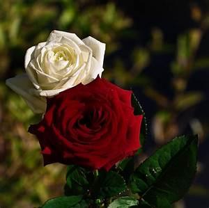 Fleur Rose Et Blanche : rose blanche rose rouge fleuriste bulldo ~ Dallasstarsshop.com Idées de Décoration