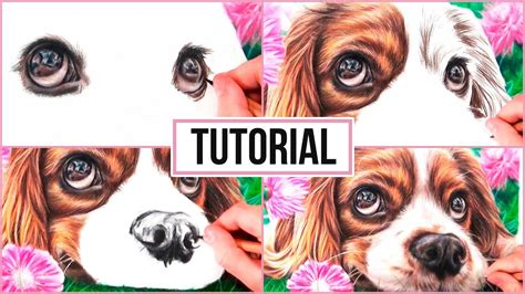 draw  realistic dog  coloured pencil drawing tutorial step  step youtube