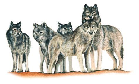 pack  wolves illustration