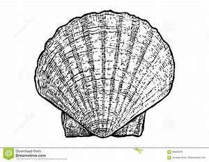 Scallops, Clam, Shell Illustration, Drawing, Engraving ...
