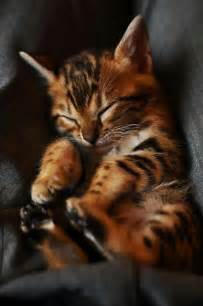 cat lifespan expectancy in bengal cats many