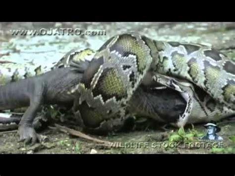 boa constrictor se traga a un cocodrilo completo YouTube