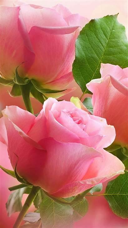 Pink Rose Flowers Roses Flower Galaxy Samsung