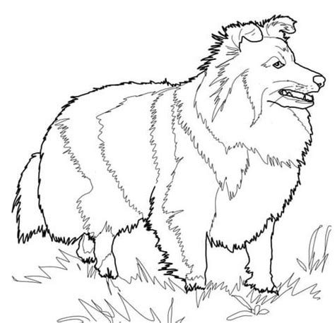 shetland sheepdog coloring page  printable coloring