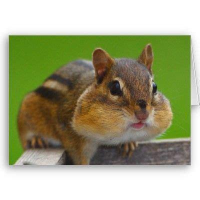 chipmunk card  httpwwwzazzlecomchipmunkcards