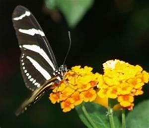 Schmetterlinge überwintern Helfen : zahl berwinternder schmetterlingsfalter r ckl ufig ~ Frokenaadalensverden.com Haus und Dekorationen