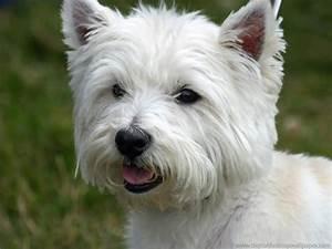 West Highland Terrier pc wallpaper