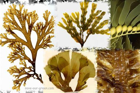 brown algae brown algae save our green