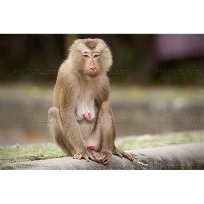 Crab Eating Macaque Facts Picture And Images