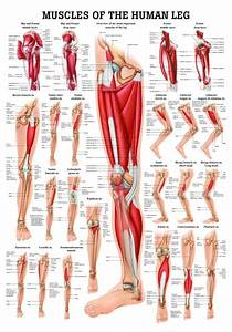 Human Muscles Of The Leg Poster Clinical Charts And Supplies