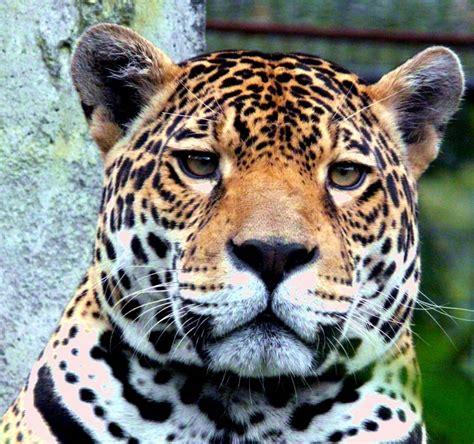 jaguar cat fantastic top jaguar cat images for tattoos