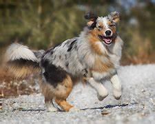 Hund Im Garten Vergraben : spiele f r den australian shepherd gu ~ Lizthompson.info Haus und Dekorationen