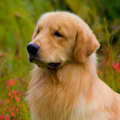 bred si鑒e social golden retriever chiens anipassion