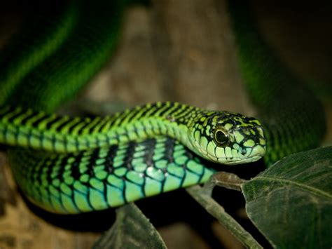 african snakes archives wes phelan