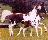horseland  love horses pinto