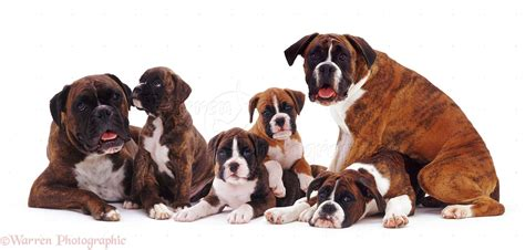 dogs boxer family photo wp
