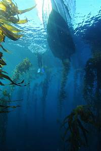 Restoring Tasmania U2019s Giant Kelp Forests The Focus Of New Research Project