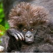 Cute Baby Mountain Gor...Cute Mountain Gorilla