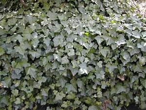 Plantes Grimpantes Mur : les plantes grimpantes ~ Melissatoandfro.com Idées de Décoration