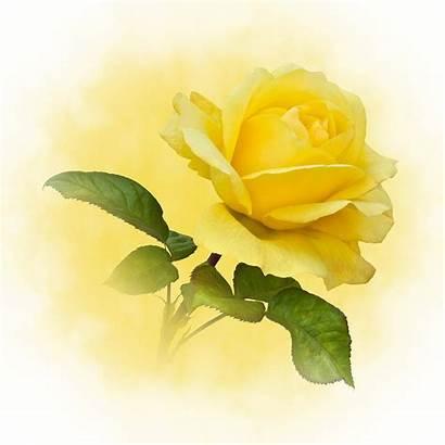 Yellow Rose Golden Single Clip Bing Mcilroy
