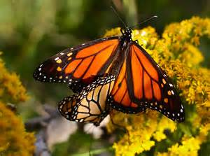 Male and Female Monarch Butterfly