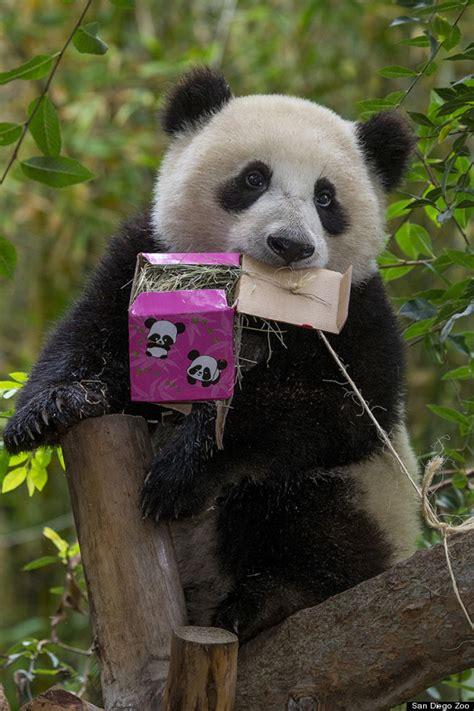 zoo diego san panda pandas birthday china cub celebrates cake happy giant gift baby carrot ken bamboo liwu xiao flickr