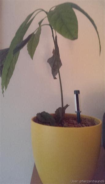 blätter werden braun und trocken tropenland forum avocado bl 228 tter werden braun und fallen ab