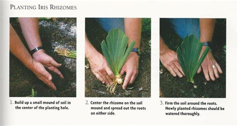 planting trimming iris the and of it for