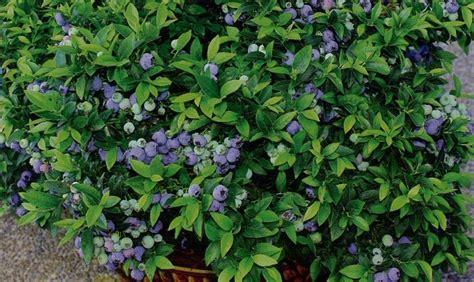 growing blueberry plants in pots growing blueberries in containers garden lovelies