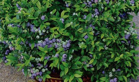 growing blueberries in containers garden lovelies