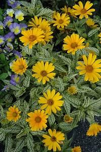 Sunstruck False Sunflower  Heliopsis Helianthoides