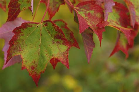 what tree leaves turn in fall temperate deciduous forests natureworks