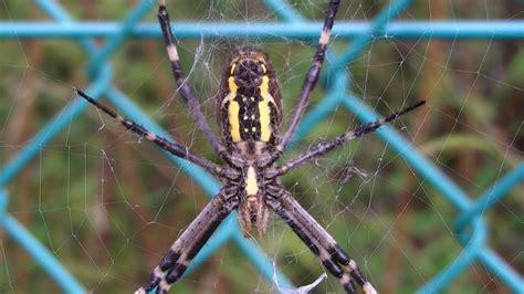 argiope spider wasp field bruennichi yellow spot abdomen yokohamamama