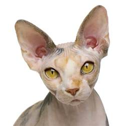 sphynx cats about the sphynx cat cat breeds catloversdiary