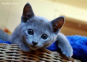 Very Cute Russian Blue Kitten Wallpapers Images Pictures ...