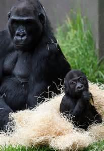 San Francisco Zoo Baby Gorilla