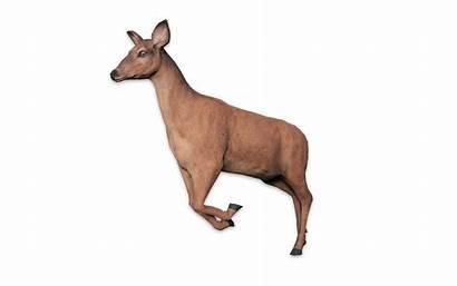 Deer Roe Animallica