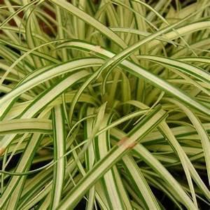 Carex Hachijoensis Evergold Pflege : carex hachijoensis evergold images ~ Lizthompson.info Haus und Dekorationen