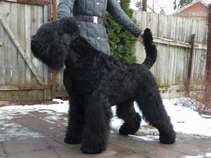 Black Russian Terrier pupies for sale   Bedford ...