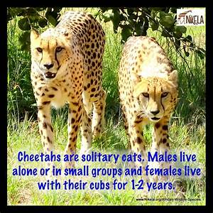 Cheetahs Unable To Outrun The Danger