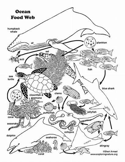 Ocean Chain Web Drawing Coloring Habitats Animals