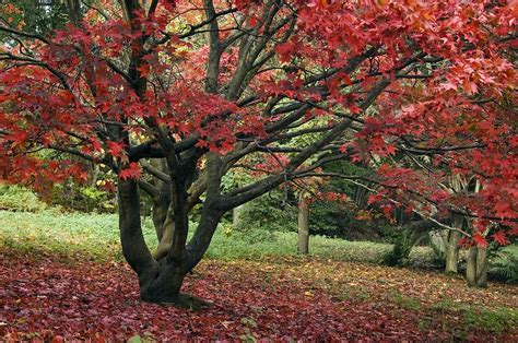 chagne colored tree scientists solve riddle of why leaves change colour only