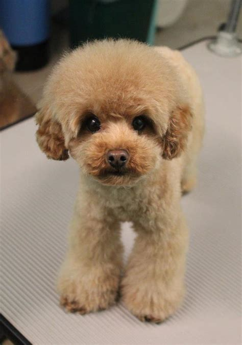 Poodle grooming styles photos
