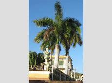National Tree Of Cuba Palma Real 123Countriescom