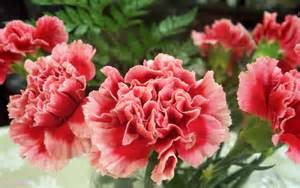 bulk carnations cravos carnations on carnation pink