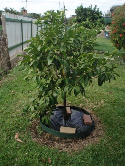 black sapote chocolate tree diospyros digyna