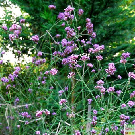 verveine de buenos aires en pot verveine de buenos aires culture entretien jardipartage